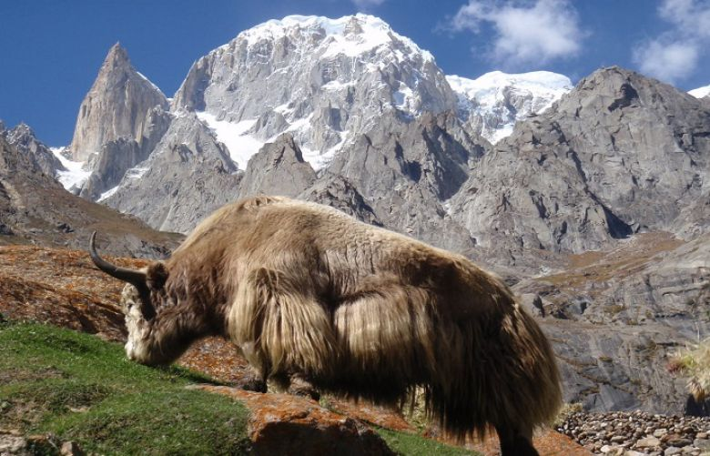 Hunza people worried about yaks stranded on Chinese side