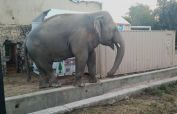 'Loneliest' elephant Kaavan set to leave for Cambodian sanctuary