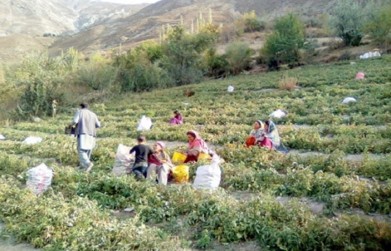 This Chitral village is unaffected by tomato crisis