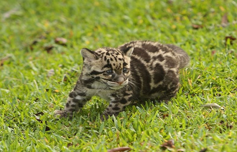 zoo names clouded leopard kitten such tv