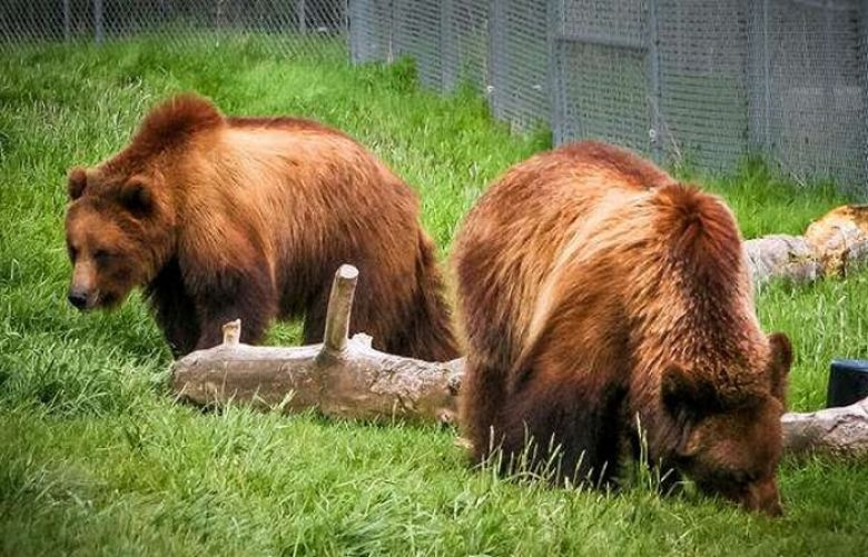 Pakistan to send two Himalayan bears to overseas temporarily, IHC informed