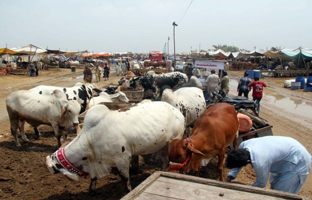 Sindh govt withdraws notification allowing cattle markets