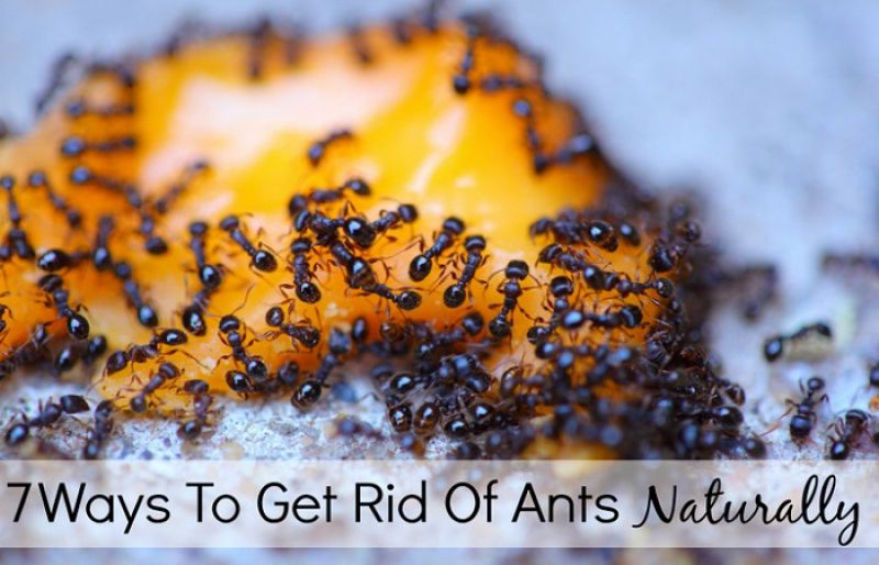 High Quality 7 Ways To Get Rid Of Ants Naturally Great Ideas