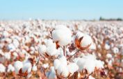 Cotton prices in Pakistan pushed to an 11-year high