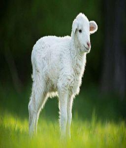 Award-winning lamb under investigation